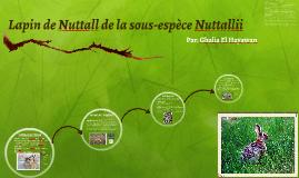 Lapin de Nuttall de la sous-espèce nuttallii