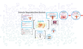 Copy of Female Reproductive System