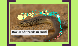 Burial of lizards in sand