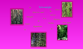 Sphenophyta
