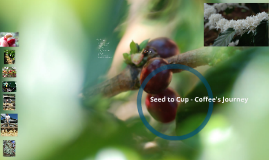 Seed to Cup - Coffee's Journey