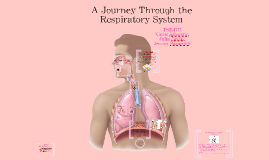 A Journey Through the Respiratory System