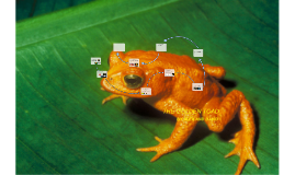 Copy of THE GOLDEN TOAD