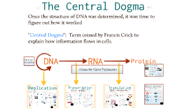 Bio- Molecular Genetics 2:  The Central Dogma