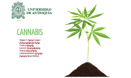Copia de CANNABIS