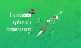 Crab Muscular System 8