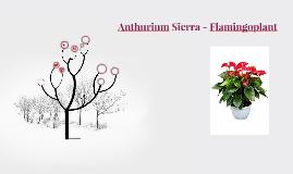 Anthurium Sierra - Flamingoplant