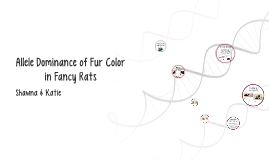 Allele Dominance of Fur Color in Fancy Rats