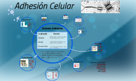 Copy of Adhesion Celular