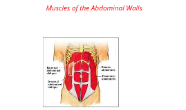 Abdominal Wall Muscles