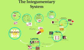 Copy of Integumentary System