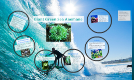 Giant Green Sea Anemone