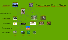 everglades food chain Food web in any ecosystem there are many food chains and, generally, most plants and animals are part of several chains students will determine which animals live in various ecosystems, then create a poster of a food web for one of the given ecosystems.