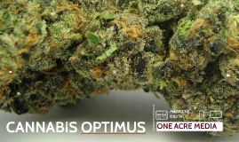 Cannabis Optimus