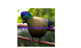 Anatomy of the Purple Crested Turaco