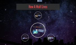 how a wolf lives by amaya