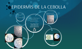 Copy of EPIDERMIS DE LA CEBOLLA