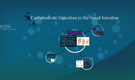 Carbohydrate Digestion in the Small Intestine