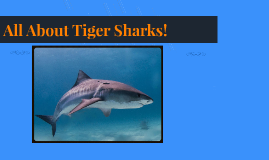 All About Tiger Sharks!