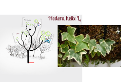 Copy of Hedera helix