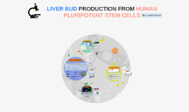 LIVER BUD PRODUCTION FROM HUMAN PLURIPOTENT STEM CELLS