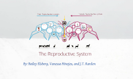 Copy of The Reproductive System