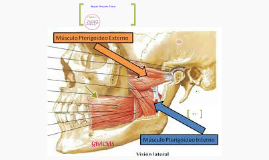 Copy of Musculo Pterigoideo Interno