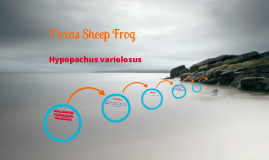 Texas Sheep Frog
