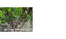Evaluación de Compatibilidad Sexual en Cacao y Modelos de Plantación