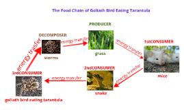 Bird Eating Spider Food Chain