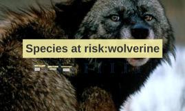 Species at risk:wolverine
