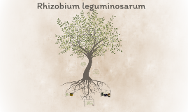Rhizobium leguminosarum