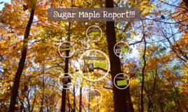 Sugar Maple Report!!!