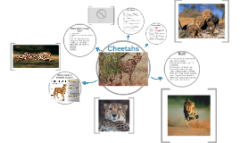 Copy of Cheetahs