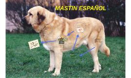 MASTIN ESPAÑOL