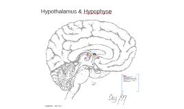Hypothalamus & Hypophyse