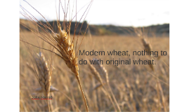 Modern wheat, nothing to do with original wheat.