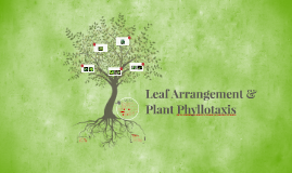 Plant Phyllotaxis