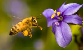 Copy of La importancia de la conservacion de las abejas