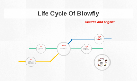 Life Cycle Of A Blowfly