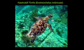 Hawksbill Turtle (Eretmochelys imbricate)