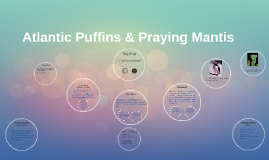 Atlantic Puffins & Praying Mantis