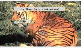 Javan Tigers