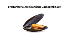 Freshwater Mussels and the Chesapeake Bay