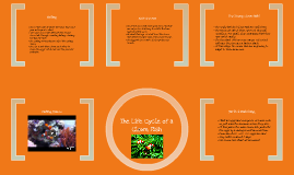 Life cycle of a clown fish by belles l on prezi for Clown fish life cycle