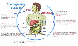 The Digestive Sistem