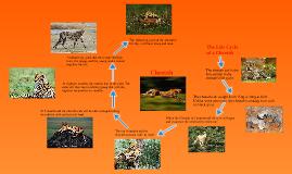 Cheetah life cycle chart - photo#1