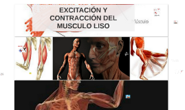 Copy of MUSCULO LISO