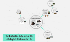 The Mountain Pine Beetle and How It Is Affecting British Col
