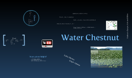 Copy of Water Chestnut